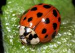 Harlequin | Ladybird species