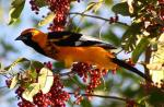 Spot-breasted Oriole - Bird Species | Frinvelis jishebi | ფრინველის ჯიშები