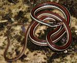 Thamnophis proximus rubrilineatus - Red-striped Ribbon Snake | Snake Species