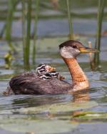 Red-necked Grebe - Bird Species | Frinvelis jishebi | ფრინველის ჯიშები