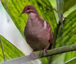 Ruddy Quail-Dove - Bird Species | Frinvelis jishebi | ფრინველის ჯიშები