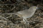 Curve-billed Thrasher - Bird Species | Frinvelis jishebi | ფრინველის ჯიშები