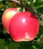 Daybreak Fuji - Apple Varieties list a - z