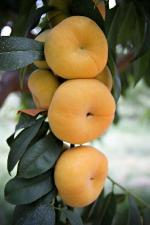 Tangos | Peach Species