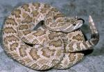 Crotalus oreganus lutosus - Great Basin Rattlesnake | Snake Species