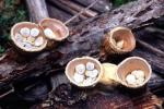 Bird's Nest Fungus: Crucibulum laeve - fungi species list A Z