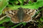 Dingy Skipper | Butterfly species