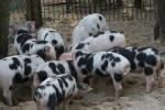 Bentheim Black Pied - pig breeds | goris jishebi | ღორის ჯიშები