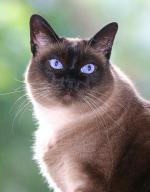 Applehead Siamese | Cat | Cat Breeds