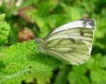 Green Veined White | Butterfly species