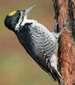 Black-backed Woodpecker - Bird Species | Frinvelis jishebi | ფრინველის ჯიშები