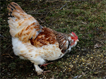 Faverolles | Chicken | Chicken Breeds