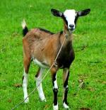 Philippine Goat - Goats Breeds | txis jishebi | თხის ჯიშები