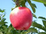 Initial - Apple Varieties list a - z