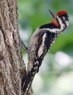 Yellow-bellied Sapsucker - Bird Species | Frinvelis jishebi | ფრინველის ჯიშები
