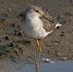 Lesser Yellowlegs - Bird Species | Frinvelis jishebi | ფრინველის ჯიშები