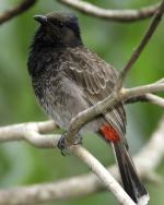 Red-vented Bulbul - Bird Species | Frinvelis jishebi | ფრინველის ჯიშები