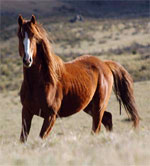 Brumby | Horse | Horse Breeds