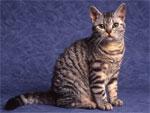 American Wirehair | კატა | კატები | კატის ჯიშები