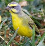 Yellow-fronted Canary - Bird Species | Frinvelis jishebi | ფრინველის ჯიშები