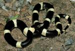 LONG-NOSED SNAKE <br />  Rhinocheilus lecontei | Snake Species