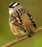 White-crowned Sparrow - Bird Species | Frinvelis jishebi | ფრინველის ჯიშები
