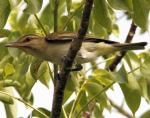 Black-whiskered Vireo - Bird Species | Frinvelis jishebi | ფრინველის ჯიშები