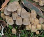Coprinellus disseminatus - Fungi Species
