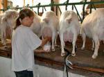 Swedish Landrace Goat - Goats Breeds | txis jishebi | თხის ჯიშები