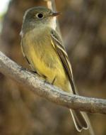 Buff-breasted Flycatcher - Bird Species | Frinvelis jishebi | ფრინველის ჯიშები