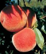 PF 27A Flamin Fury - Peach Varieties list a - z