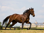 Thoroughbred | Horse | Horse Breeds