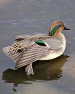 Green-winged Teal - Bird Species | Frinvelis jishebi | ფრინველის ჯიშები