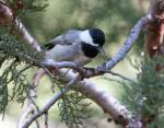 Mexican Chickadee - Bird Species | Frinvelis jishebi | ფრინველის ჯიშები