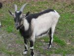 Alpines Goat - Goats Breeds | txis jishebi | თხის ჯიშები