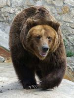 Brown Bear - bears species | datvis jishebi | დათვის ჯიშები