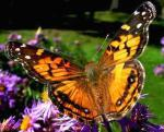 Painted Lady | Butterfly species