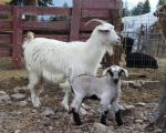 Cashmere goat - Goats Breeds | txis jishebi | თხის ჯიშები