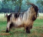 Dutch Landrace Goat - Goats Breeds | txis jishebi | თხის ჯიშები