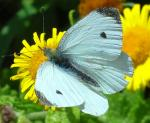 Small White | Butterfly species
