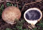 Scleroderma cepa - Fungi Species