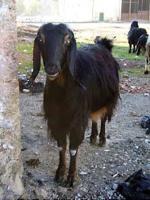 Anatolian Black goat - Goats Breeds | txis jishebi | თხის ჯიშები