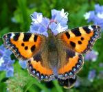 Small Tortoiseshell | Butterfly species