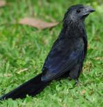 Groove-billed Ani - Bird Species | Frinvelis jishebi | ფრინველის ჯიშები