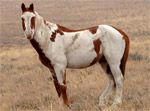 Mustang | Horse | Horse Breeds