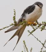 Swallow-tailed Kite - Bird Species | Frinvelis jishebi | ფრინველის ჯიშები