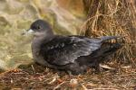 Short-tailed Shearwater - Bird Species | Frinvelis jishebi | ფრინველის ჯიშები