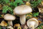Lepista nebularis: Clitocybe nebularis - Fungi Species