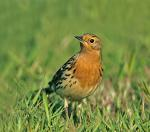 Red-throated Pipit - Bird Species | Frinvelis jishebi | ფრინველის ჯიშები