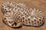 Heterodon nasicus kennerlyi - Mexican Hog-nosed Snake | Snake Species